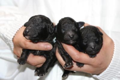 トイプードルシルバーの子犬オス2頭メス1頭、生後3日画像