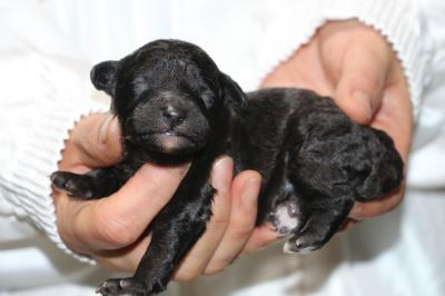 トイプードルシルバーの子犬オス、生後3日画像