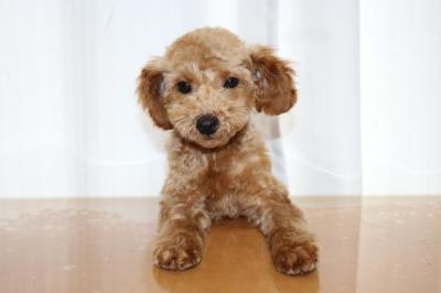 トイプードルレッドの子犬オス、東京都葛飾区小太郎君画像