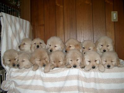 千葉県のブリーダー、ゴールデンレトリバーの子犬オス7頭メス6頭13頭兄弟姉妹画像