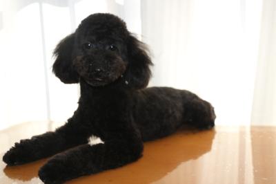 トイプードルブラックの子犬オス、生後8ヵ月画像