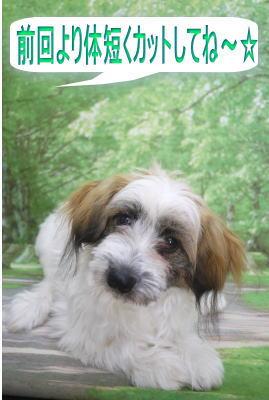 千葉県鎌ヶ谷市のMIX犬のトリミング前画像