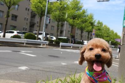 ペットホテルin千葉県トイプードルなずなちゃんfrom東京都北区画像