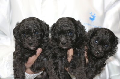 トイプードルシルバーの子犬オス2頭メス1頭、生後4週間画像
