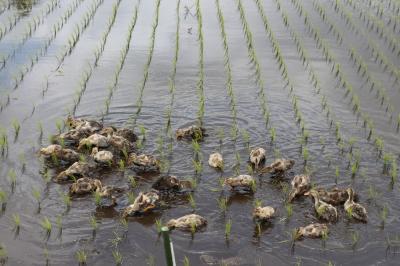 アイガモ(合鴨)農法放鳥式in千葉県長生村2018春画像