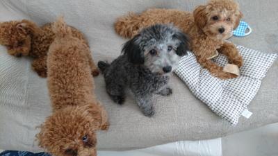 トイプードルシルバーの子犬メス、愛知県名古屋市いぶちゃん画像