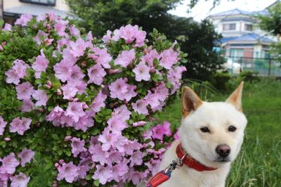 ペットホテルin千葉県雑種犬ルーク君from鎌ヶ谷市画像