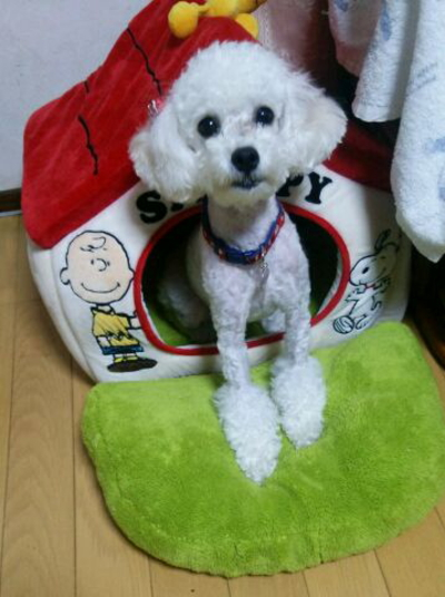 トイプードルホワイト(白)成犬メス画像