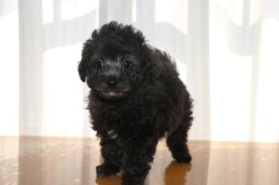 トイプードルシルバーの子犬オス、生後7週間画像