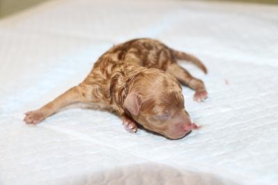 トイプードルレッド子犬メス、産まれたばかり画像