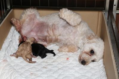 トイプードルホワイト(白)、出産予定日より4日早いお産画像