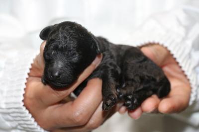 トイプードルブラック(黒)の子犬オス、生後3日画像