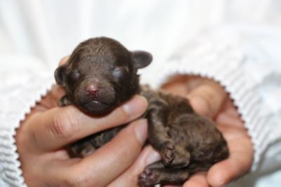 トイプードルブラウン(黒)の子犬オス、生後3日画像