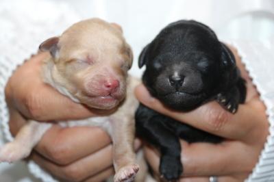 トイプードルクリーム(ホワイト)オスシルバーメスの子犬、生後3日画像