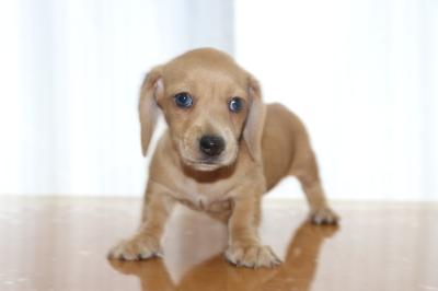 ミニチュアダックススムースクリーム(イエロー)の子犬メス、生後6週間画像