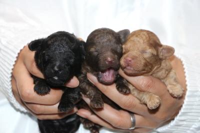 トイプードルの子犬、ブラックオスブラウンオスレッドメス、生後1週間画像