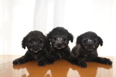 トイプードルシルバーの子犬オス2頭メス1頭、生後2ヵ月画像