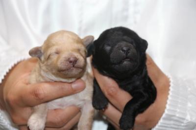 トイプードルクリーム(ホワイト)オスシルバーメスの子犬、生後1週間画像