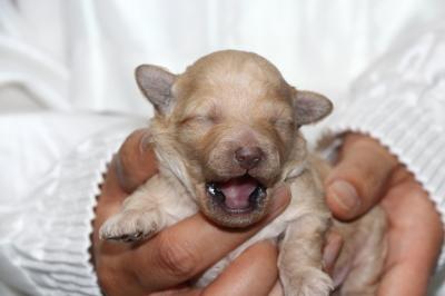 トイプードルクリーム(ホワイト)の子犬オス、生後1週間画像