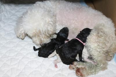 トイプードルホワイト(白)の出産画像