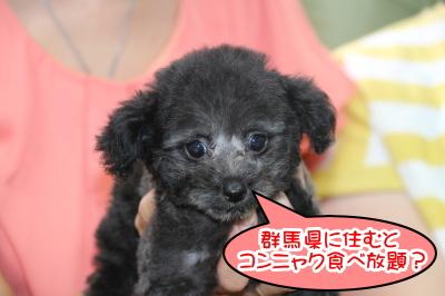 トイプードルシルバーの子犬メス、群馬県伊勢崎市シェリーちゃん画像