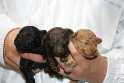 トイプードルの子犬、ブラック(黒)オスブラウンオスレッドメス、生後2週間画像