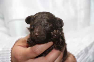 トイプードルブランの子犬オス、生後2週間画像