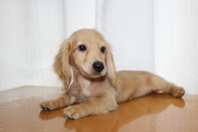 ミニチュアダックスクリーム(イエロー)の子犬メス、生後3ヵ月画像