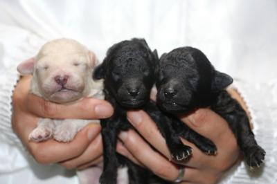 トイプードルホワイト(白)オスシルバーメス2頭、生後1週間画像