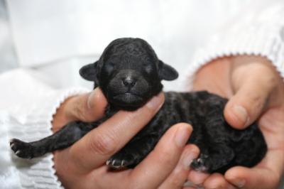 トイプードルシルバーメスの子犬、生後1週間画像
