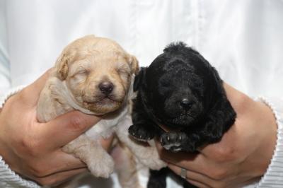 トイプードルクリーム(ホワイト)オスシルバーメスの子犬、生後2週間画像