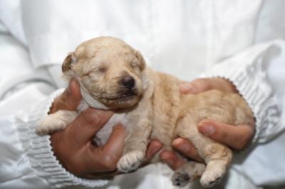トイプードルクリーム(ホワイト)オスの子犬、生後2週間画像