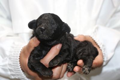 トイプードルシルバーメスの子犬、生後2週間画像
