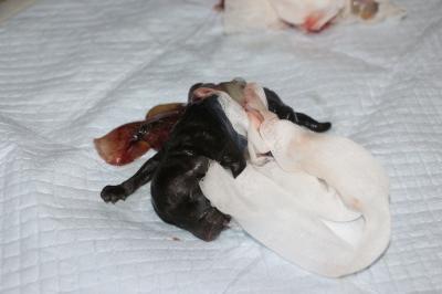 トイプードルブラウン産まれたばかりの子犬画像