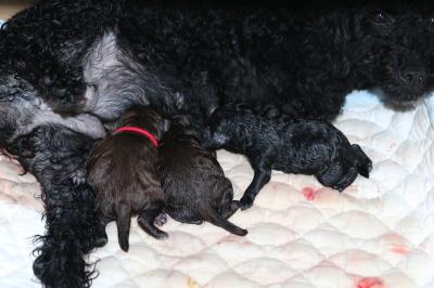 トイプードルブラック(黒)の出産画像
