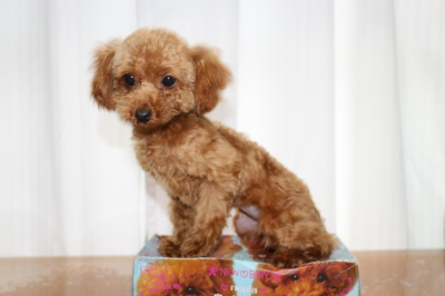 ティーカッププードルレッドの子犬メス、生後半年画像