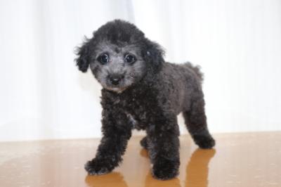 トイプードルシルバーの子犬オス、神奈川県厚木市ポン君画像