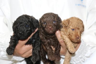 トイプードルの子犬、ブラック(黒)ブラウンオスアプリコットメス、生後3週間画像