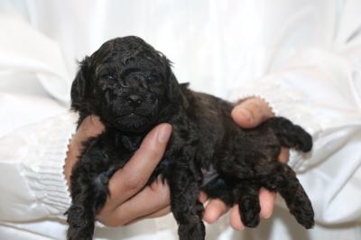 トイプードルブラック(黒)の子犬オス、生後3週間画像