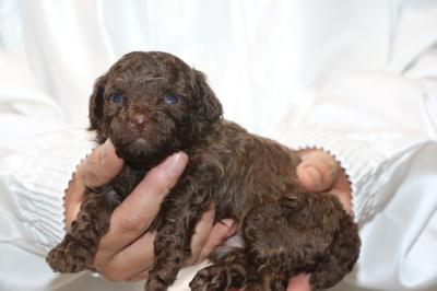 トイプードルブラウン)の子犬オス、生後3週間画像