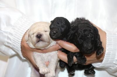 トイプードルホワイト(白)オスシルバーメス2頭、生後2週間画像