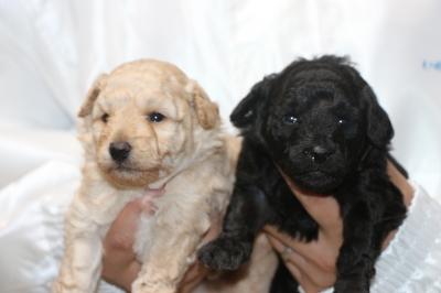 トイプードルクリーム(ホワイト)オスシルバーメスの子犬、生後3週間画像