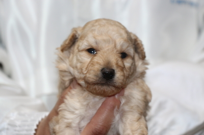 トイプードルクリーム(ホワイト)オスの子犬、生後3週間画像
