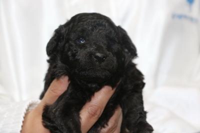トイプードルシルバーメスの子犬、生後3週間画像