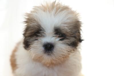 シーズーの子犬メス、生後8週間画像