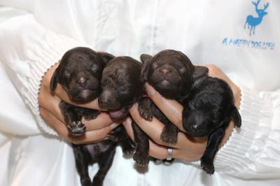 トイプードルブラウンオス1頭メス2頭ブラック(黒)メス1頭の子犬、生後1週間画像