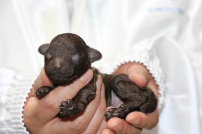トイプードルブラウンメスの子犬、生後1週間画像