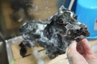 トイプードルブリーダーの成犬,シャンプー画像