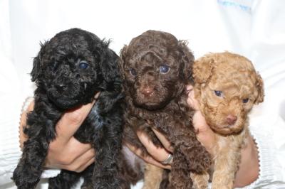 トイプードルの子犬、ブラック(黒)ブラウンオスアプリコットメス、生後4週間画像