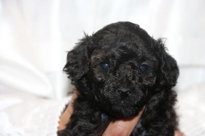 トイプードルブラック(黒)の子犬オス、生後4週間画像